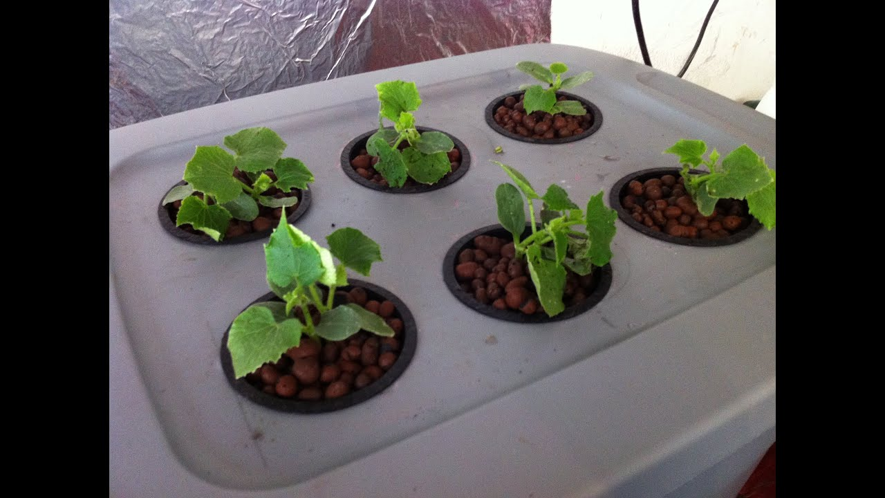 How To Grow Hydroponics at Home?